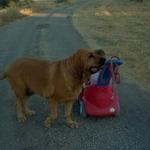 """Bella"" the Bloodhound is one of our long term vacationers and loves it here."